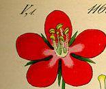 """So sieht die Einzelblüte von Anagallis arvensis in Prof. Dr. Otto Wilhelm Thomés Buch """"Flora von Deutschland, Österreich und der Schweiz"""", das 1885 erschien (Quelle: Wikipedia Commons)"""