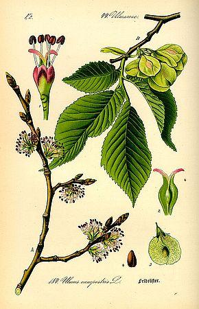 Einzelheiten Ulme historische Darstelleung - zu Ferlix Bork Oh eine Pflanze
