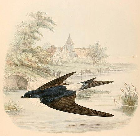 Zeichnung einer Mehlschwalbe  farbig. Für den Beitrag NaturGenies von Bruno P. Kremer und Bärbel Oftring