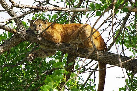 Puma in einem Baum. Als Illustration zu Woodwalkers von Katja Brandis - die Hauptfigu ist Puma und Mensch