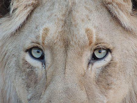 Augenpartie eines Löwen zu Löwen wecken von Ayelet Gundar-Goshen