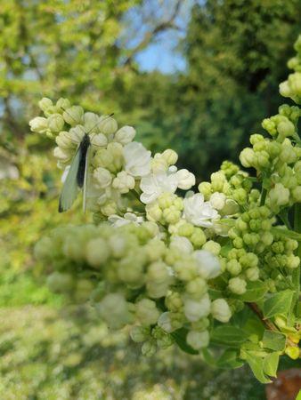 Weißer Flieder mit Schmetterling - was Lyrisches zum Lyriktelefon