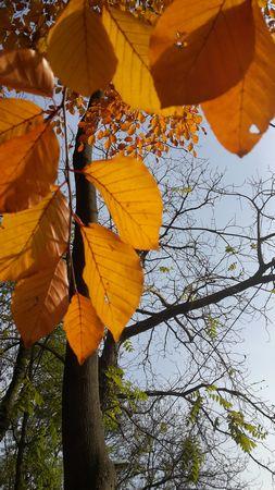 Im Herbst werden die Blätter nicht einfach gelb, sondern golden - ein Zweig mit Herbstlaub vor Himmel