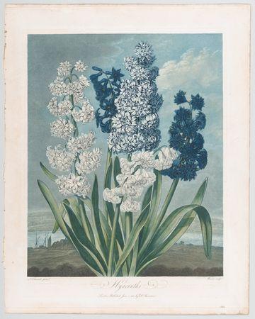 Fünf verschiedene Hyazinthen, gemalt von  Thomas Warner, 1801