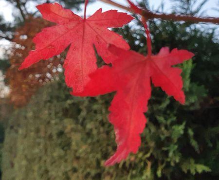 Zwei rote Herbsblätter vor grüner Hecke