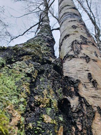 Birkenstämme schräg aufwärts fotografiert, eng beieinander, einer bemoost und alt, der andere glatter