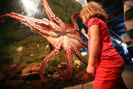 Ein Kind mit roter Kleidung steht vor einem roten Riesenkraken im Aquarium und bestaunt die Saugnäpfe.